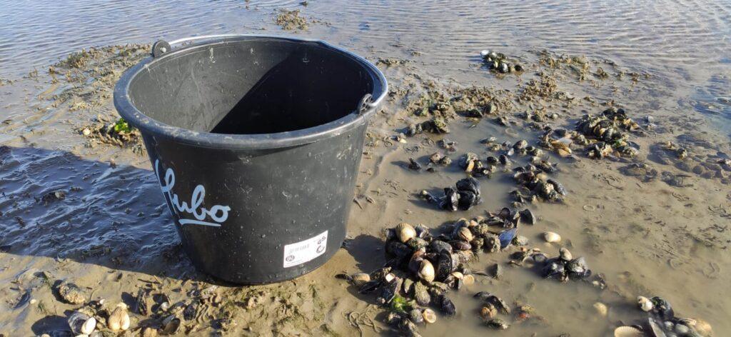 Zelg geplukte mosselen verzameld op het wad tijdens droogvallen met de klipper nova cura onder Ameland